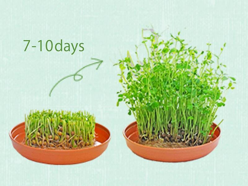 豆苗の魅力【3】1パックで二度おいしい再生栽培